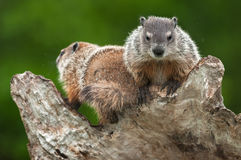 Young Woodchucks & x28;Marmota monax& x29; Atop Log Royalty Free Stock Photography