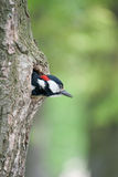 Young woodpecker. Cleans his hollow Royalty Free Stock Images