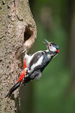 The young woodpecker. Engaged in cleaning his nest Royalty Free Stock Photos