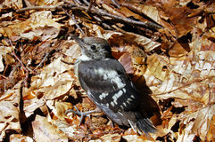 Woodpecker. A young woodpecker at mountain forest royalty free stock images
