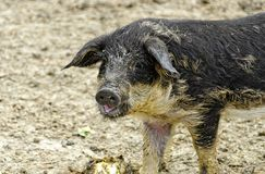 Young woolly pig Stock Photo