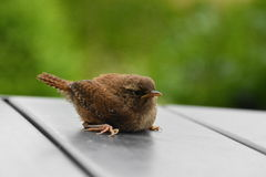 Young wren on grey garden table Royalty Free Stock Images