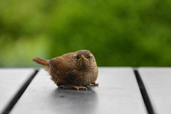 Young wren on grey garden table Royalty Free Stock Photography