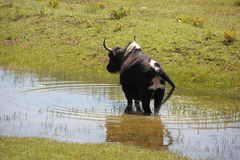 Young yak Stock Photography