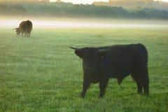 Young yak on grazing Stock Photo