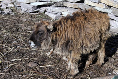 Young yak Royalty Free Stock Photography