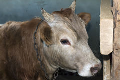 Young yearling bull tied in the barn Stock Photography