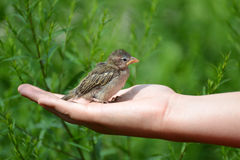 Young yellow-beaked sparrow sits on  children's palm Stock Photography