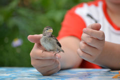 Young yellow-beaked sparrow sits on  children's palm Royalty Free Stock Image