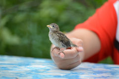 Young yellow-beaked sparrow sits on  children's palm Royalty Free Stock Photo