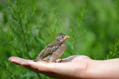 Young yellow-beaked sparrow sits on  children's palm Royalty Free Stock Photos