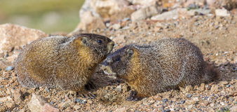 Young Yellow Bellied Marmots Royalty Free Stock Photography