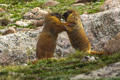 Young Yellow Bellied Marmots Royalty Free Stock Photos