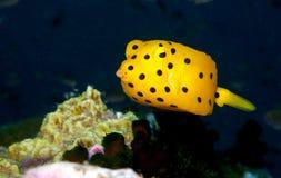 Young yellow boxfish. A juvenile yellow boxfish looking at the camera Royalty Free Stock Photo