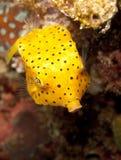 Young yellow boxfish. A juvenile yellow boxfish swims down Royalty Free Stock Photo