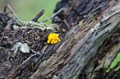 Young yellow coral mushroom. Growing on rotten wood stock photos