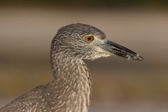 Young Yellow-crowned Night Heron Royalty Free Stock Photography