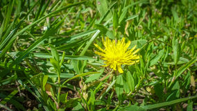 Young yellow dandelion up all alone Stock Photography
