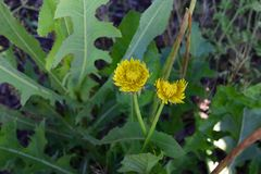 Yellow dandelion weed flowers and leaves. Young Yellow dandelion weed flowers and leaves royalty free stock image