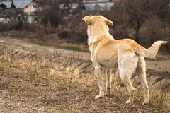 A young yellow dog stand stock photo