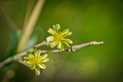 Young yellow flower Crepis tectorum Stock Photos
