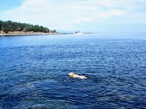 A young yellow lab swimming far from shore off of tugboat island in the Gulf Islands of British Columbia, Canada. Going for a long swim royalty free stock photo