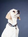 Young yellow labrador dog Stock Photo