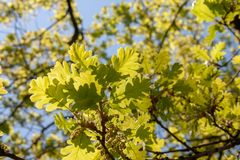 Young yellow leaves on a tree against the sky stock photography