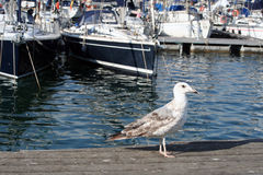 Young yellow legged gull( Larus michahellis ) Stock Photos