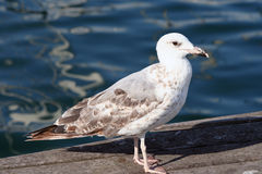 Young yellow legged gull( Larus michahellis ) Stock Photo