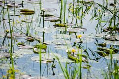 Young yellow lilies in the water wetlands. Wetlands in Petrovaradin near the city of Novi Sad by the river Danube stock image