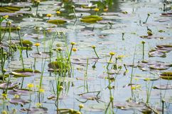 Young yellow lilies in the water wetlands. Wetlands in Petrovaradin near the city of Novi Sad by the river Danube royalty free stock photography