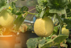 Young yellow melon or japanness melon growing in greenhouse. Young yellow melon or japanness melon hanging on tree growing in greenhouse Stock Image