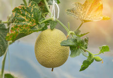 Young yellow melon or japanness melon growing in greenhouse. Young yellow melon or japanness melon hanging on tree growing in greenhouse Royalty Free Stock Image