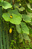 Young yellow pumpkins growing by a green fence Royalty Free Stock Image