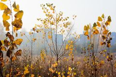 Young yellow trees Royalty Free Stock Image