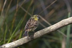 Young yellowhammer. Sits on a branch on the Kemper heide, Netherlands Stock Photos