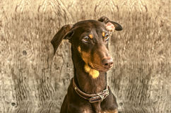 Young yellowish brown Doberman  about door Stock Image