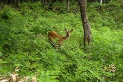 A young Yezo Sika Deer walking through the forest and fields of Shiretoko National Park stock photography