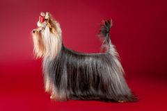 Young Yorkie. On dark red background Stock Image