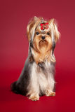 Young Yorkie. On dark red background Royalty Free Stock Photos