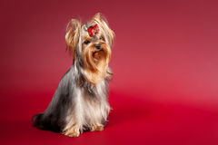 Young Yorkie Royalty Free Stock Photo