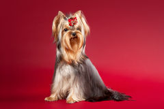 Young Yorkie. On dark red background Stock Photography