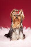Young Yorkie. On dark red background Royalty Free Stock Image