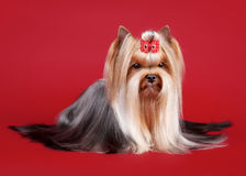 Young yorkie Royalty Free Stock Image