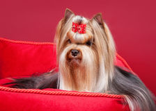 Young yorkie Royalty Free Stock Photos