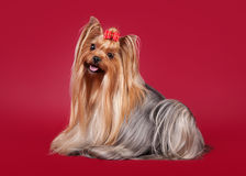 Young Yorkie on dark red Stock Image