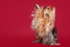 Young Yorkie on dark red Stock Photography