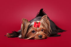 Young Yorkie on dark red Royalty Free Stock Image