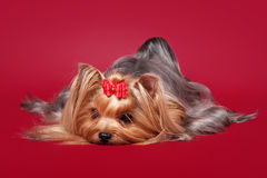 Young Yorkie on dark red Royalty Free Stock Photo